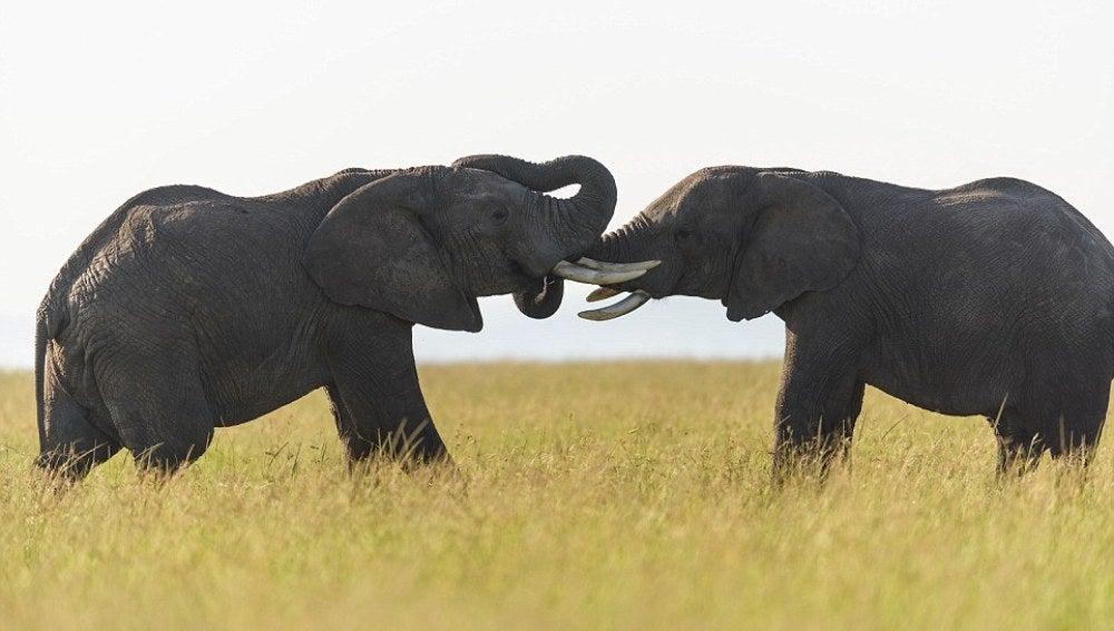 Elefantes morreándose