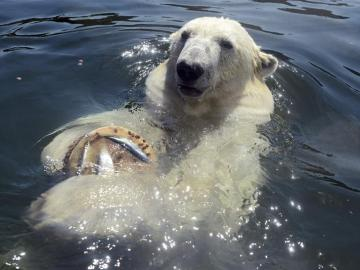 Un oso polar disfruta de un helado en el zoo Erlebniswelt en Gelsenkirchen (Alemania)