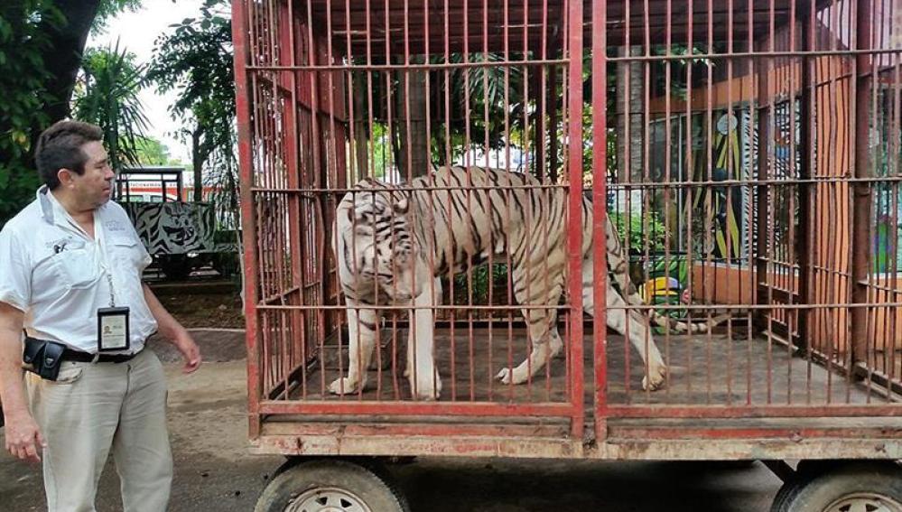 Tigre en México