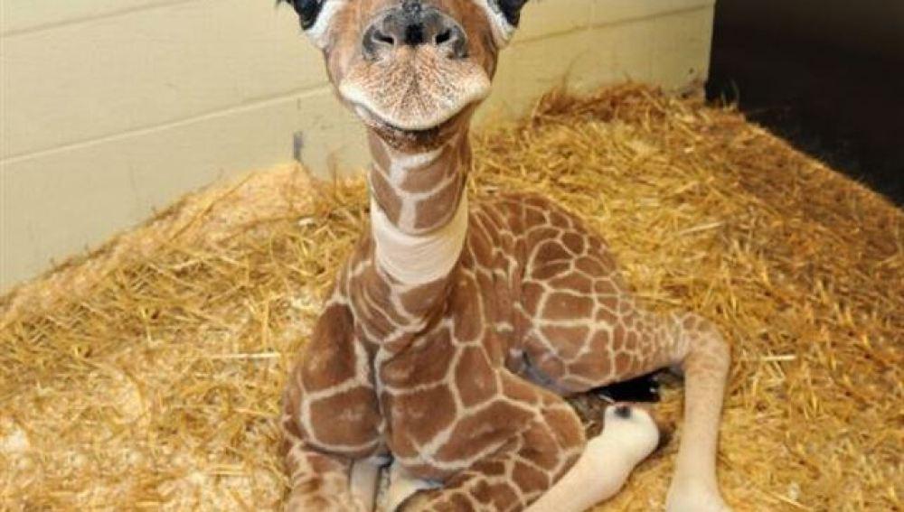 Las crías de jirafas suelen medir 1,8 metros de altura