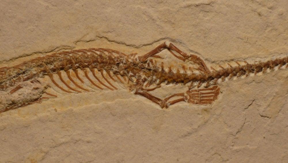 El fósil hallado en Brasil mide 19,5 cm de largo