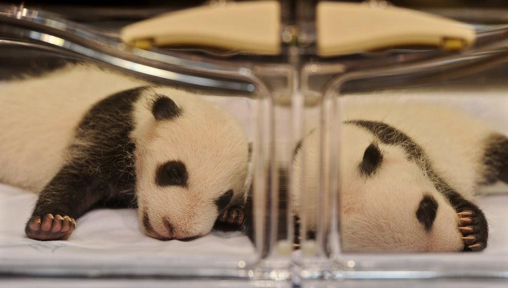 Dos crías de oso panda en la incubadora