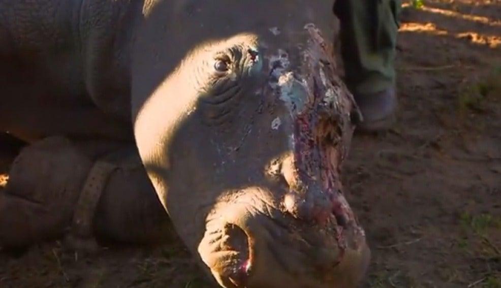 Los cazadores rajaron la cabeza de la rinoceronte