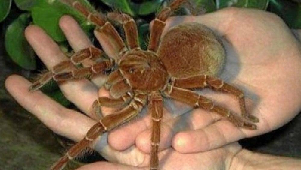 Ejemplar de araña cazadora en Panamá