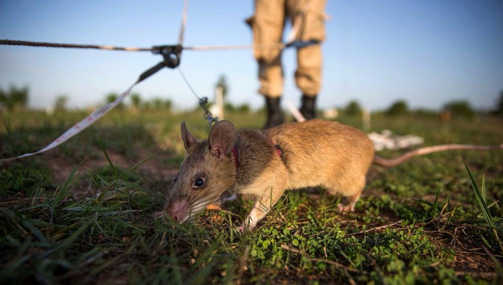 Ratas gigantes en Camboya