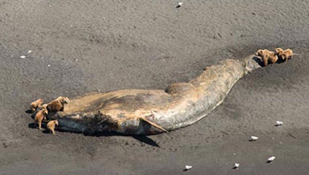 Una de las ballenas encontradas, rodeada de osos