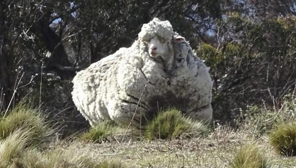 Esquilan 42,3 kilos de lana de una oveja