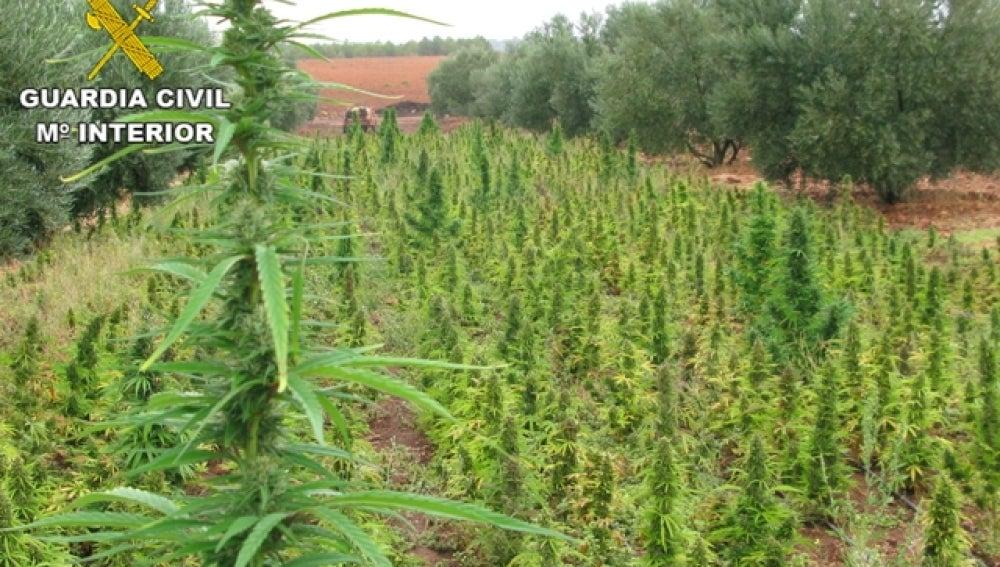 La Guardia Civil lleva a cabo la mayor incautación de plantas de marihuana en España