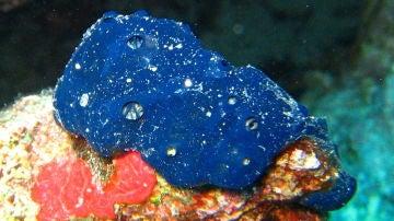 Esponja Porifera