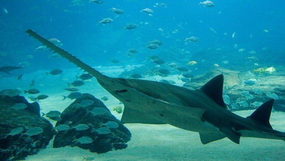 Las 10 especies marinas que podrían extinguirse en 2016