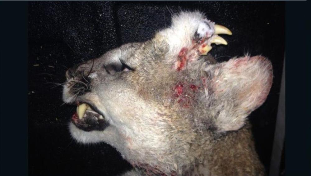 Puma con dientes en la frente