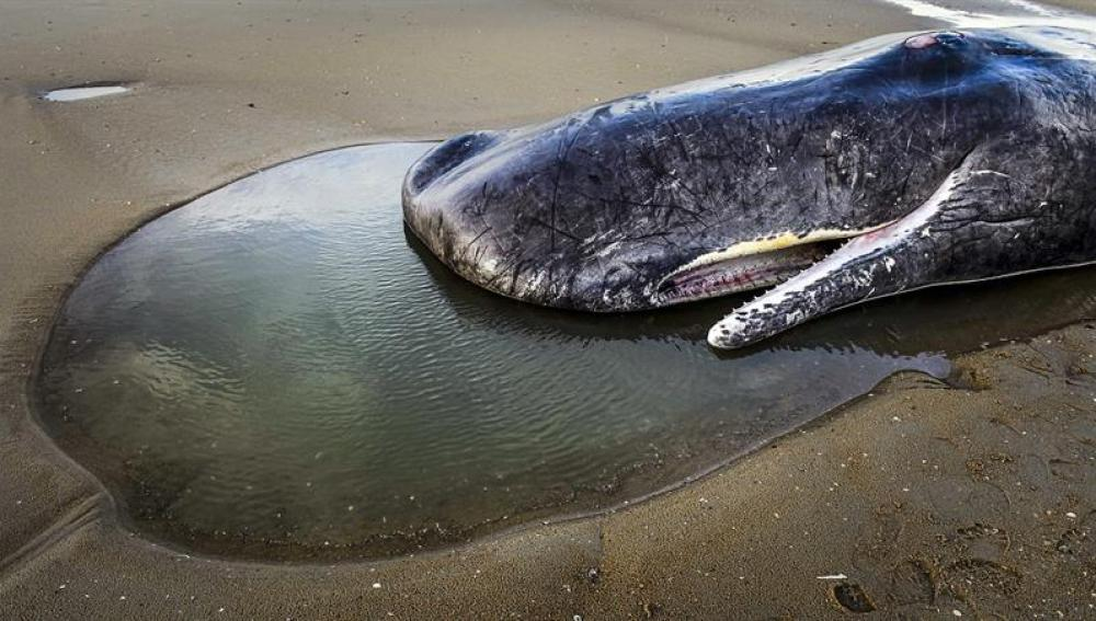Cuerpo de un cachalote en una playa en la isla de Texel, Holanda
