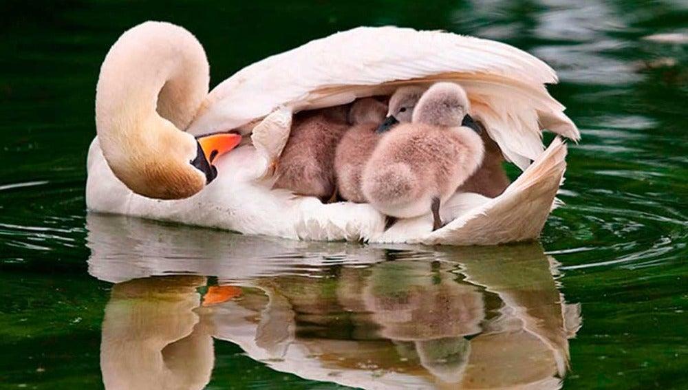 Un cisne con sus crías