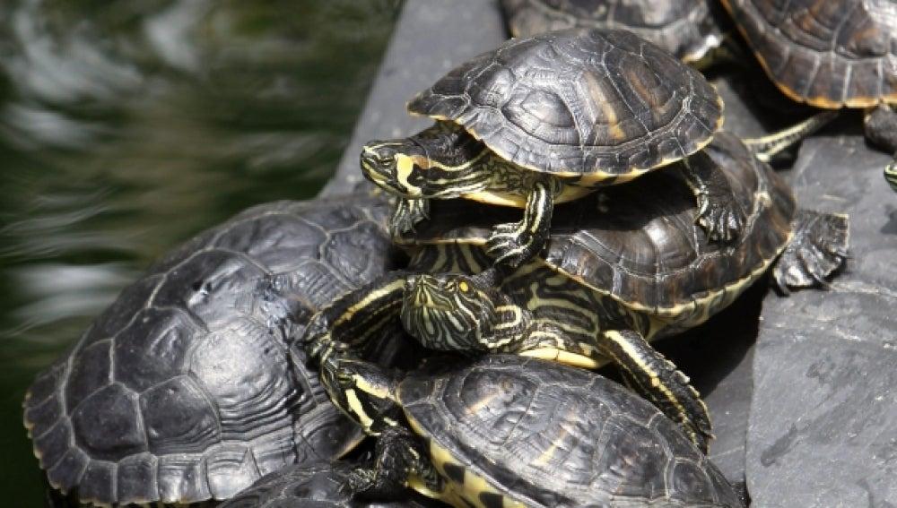 Antena 3 tv las tortugas abandonadas en el jard n for Filtro para estanque de tortugas