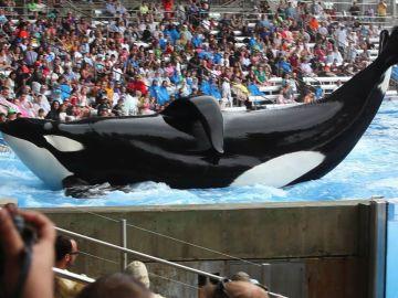 La orca Tilikum de 'Blackfish'