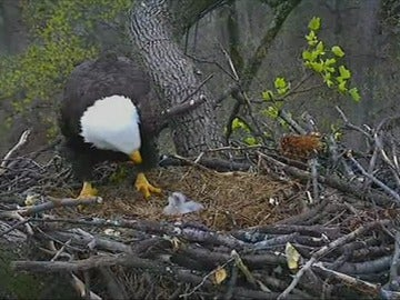 Acontecimiento animal en Washington con el nacimiento de dos crías de águila