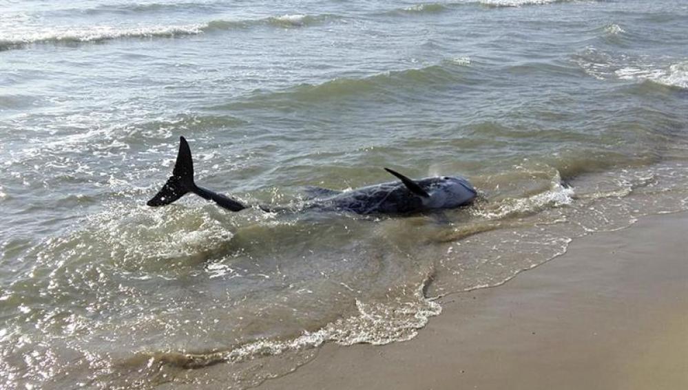 Uno de los dos delfines avistados en la playa del Grao de Burriana