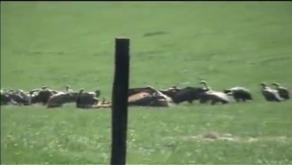Manadas de buitres hambrientos atacan y matan a los animales en Guadalajara