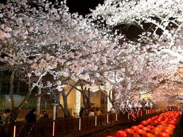 Cerezos en flor (01-04-2016)