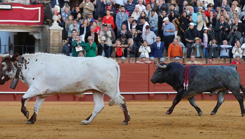 El segundo toro del matador de toros Manuel Escribano vuelve a los toriles tras ser indultado