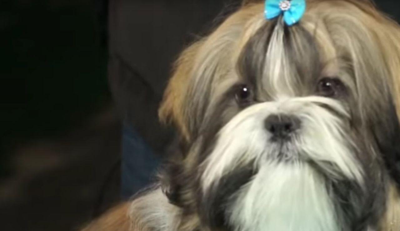 Cómo arreglar el pelo a un perro de la raza Shih Tzu I Perros - Cunipic
