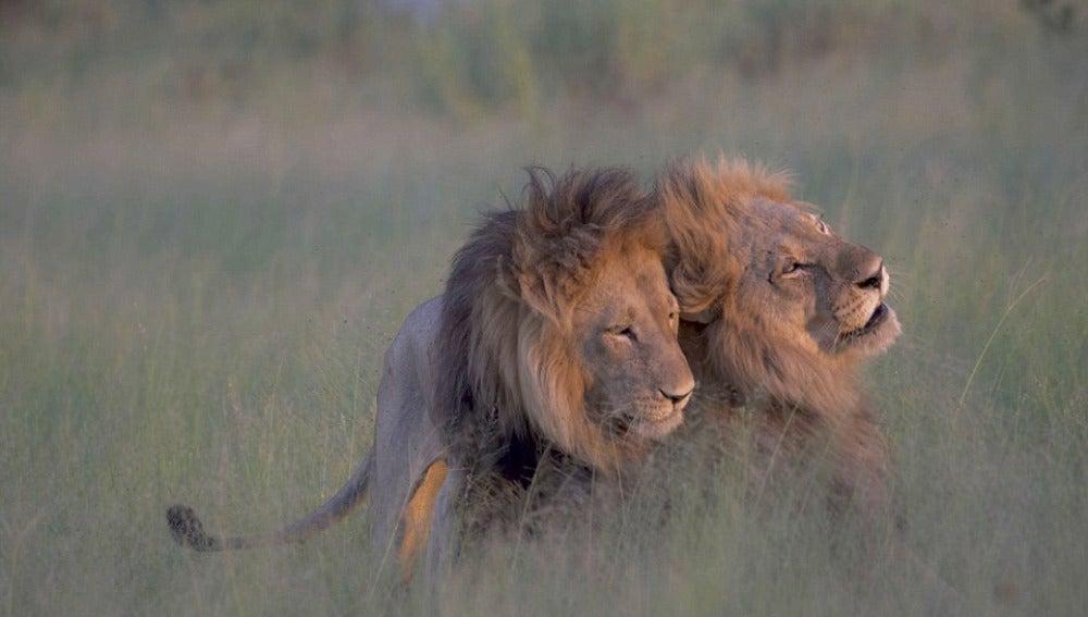 Una pareja de dos leones macho en África