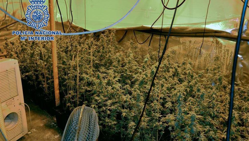 590 plantas de marihuana en Getafe