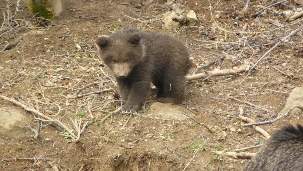 Un cachorro de oso