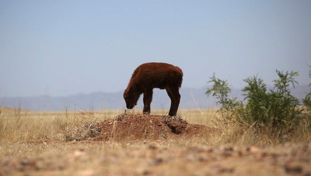 Una cría de bisonte