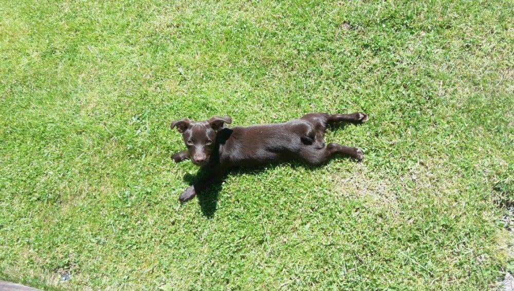 Una perra tumbada en el césped tomando el sol