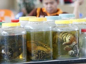 Cachorros de tigre conservados en formol