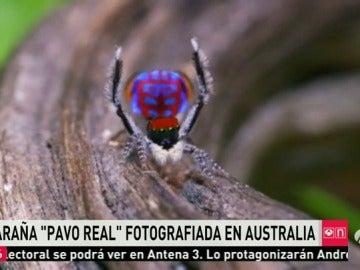 Frame 29.373793 de: La araña 'pavo real', entre las siete nuevas subespecies de arañas descubiertas en Australia