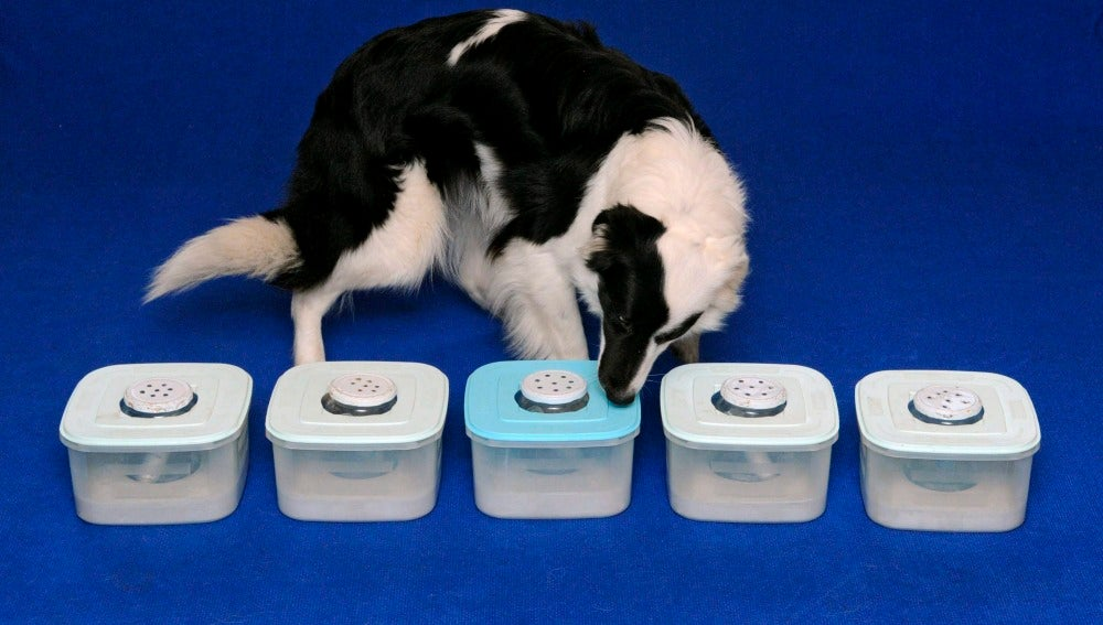 Un perro oliendo muestras