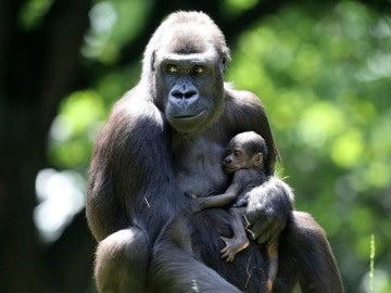 Una gorila y su cría en el zoo  (16-06-2016)