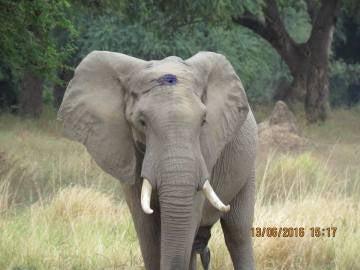 El elefante tras el disparo