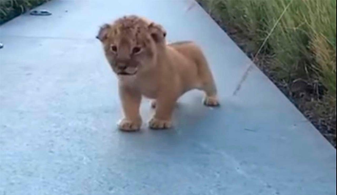Un cachorro de león intenta emitir sus primeros rugidos