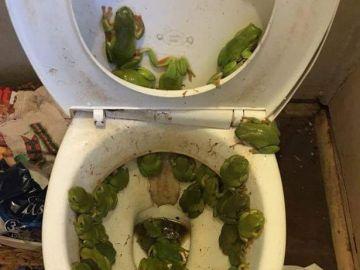 Una plaga de ranas ocupa la tapa de su retrete