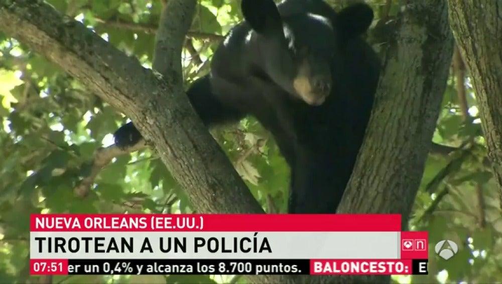 Frame 0.0 de: Capturan a un oso que subido a un árbol de una zona residencial tras ser atropellado en Nueva Jersey