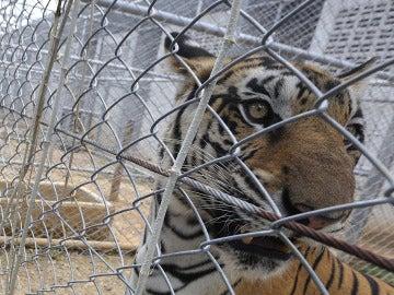 Un tigre en una jaula