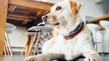 El potente olfato de los perros es sensible al isopreno, un compuesto presente en el aliento