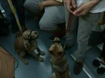 Frame 38.924108 de: Los perros podrán acceder al Metro de Madrid desde este miércoles