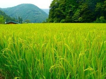 Campo de arroz en Japón. / Rumpleteaser.