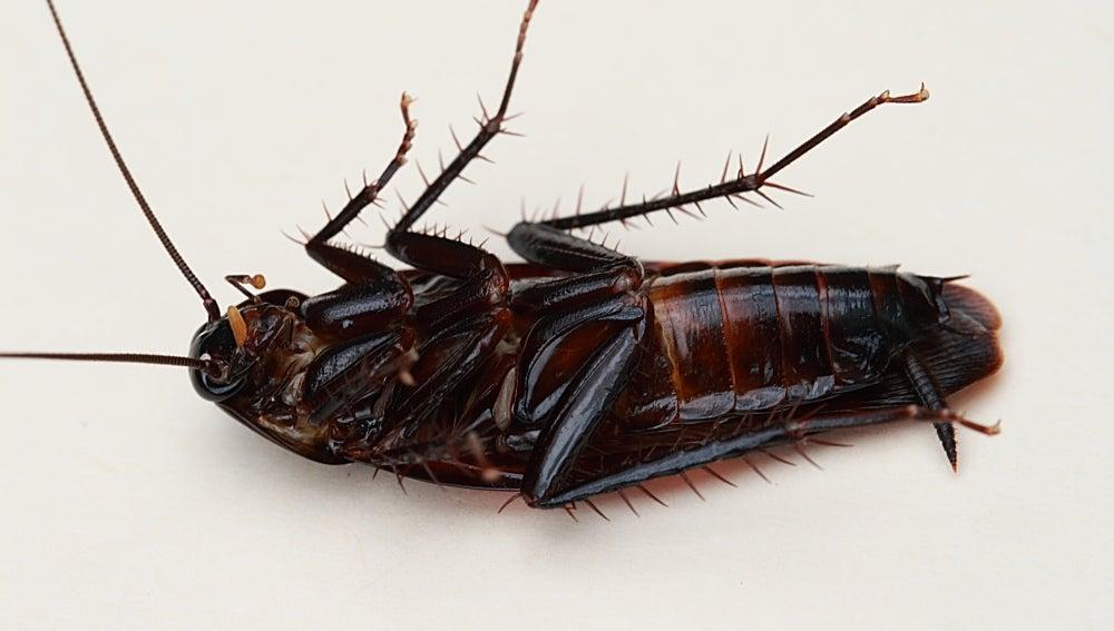 Comer cucarachas