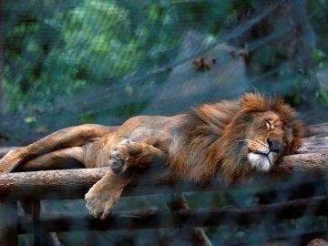 Un león durmiendo en el zoo de Caricuao