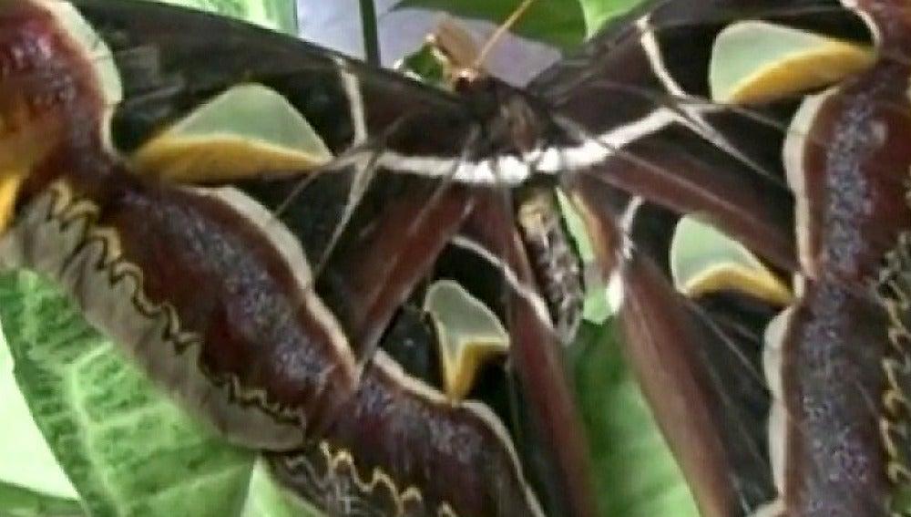 Mariposa más grande del mundo