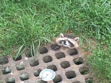 El mapache atrapado