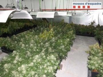 Foto de la plantación de Marihuana