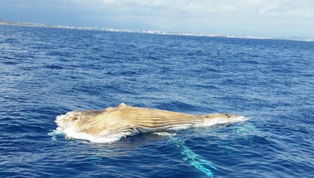 Cadáver de una ballena en Tarragona