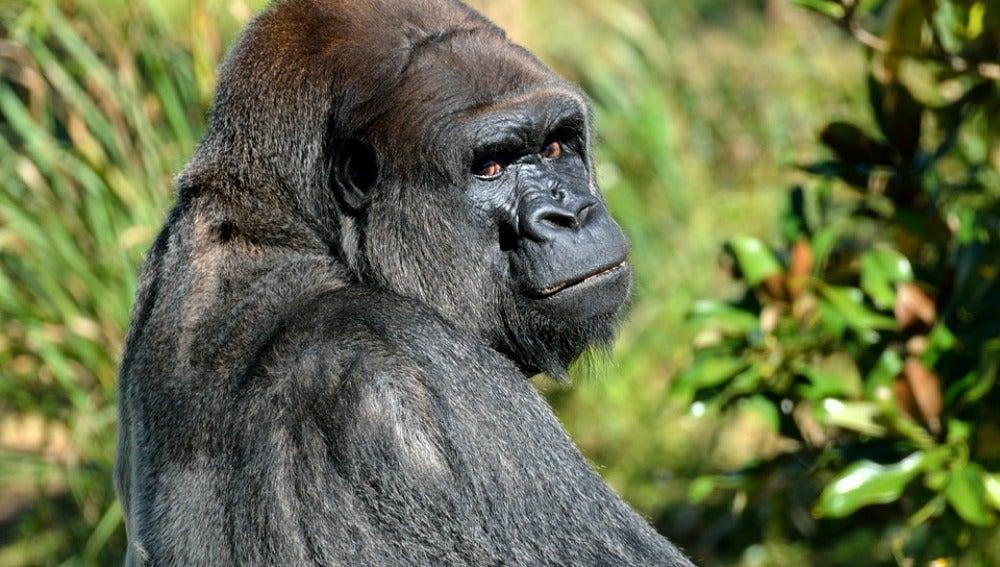 Imagen de archivo de un simio.