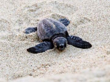 Nacen las primeras crías de tortuga boba del nido de una playa de Valencia